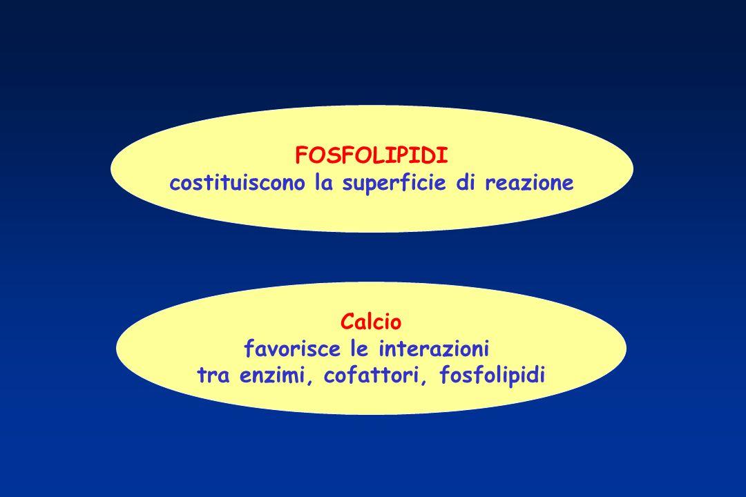 FOSFOLIPIDI costituiscono la superficie di reazione Calcio favorisce le interazioni tra enzimi, cofattori, fosfolipidi