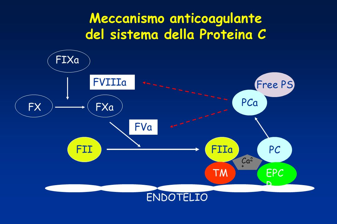 Meccanismo anticoagulante del sistema della Proteina C ENDOTELIO Free PS FIIaFII FVa FIXa FXaFX PCa FVIIIa TM PC EPC R Ca 2 +