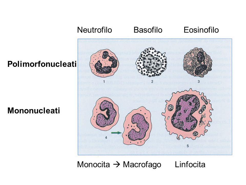 Polimorfonucleati Mononucleati NeutrofiloBasofiloEosinofilo Monocita MacrofagoLinfocita