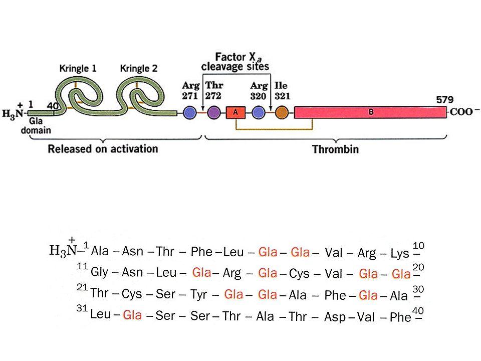 Formazione di residui di -carbossiglutammato nella protrombina Legame del Ca 2+ Ancoraggio ai fosfolipidi (fosfatidilserina) di membrana Interazione con i fattori X a e V Conversione della protrombina in trombina Rimozione del frammento N-terminale Distacco della trombina Conversione del fibrinogeno in fibrina