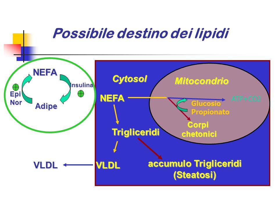 Possibile destino dei lipidi AcetylCoA NEFA VLDLVLDL Corpichetonici Trigliceridi accumulo Trigliceridi (Steatosi) Mitocondrio Cytosol NEFA Adipe Adipe