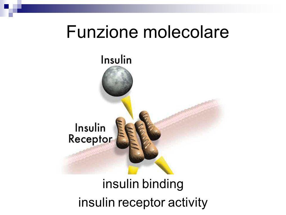 24th Feb 2006 Jane Lomax insulin binding insulin receptor activity Funzione molecolare