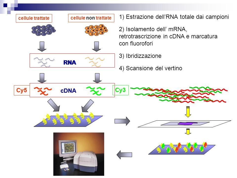 cellule trattate cellule non trattate cDNA Cy3 Cy5 RNA 1) Estrazione dellRNA totale dai campioni RNA 2) Isolamento dell mRNA, retrotrascrizione in cDN