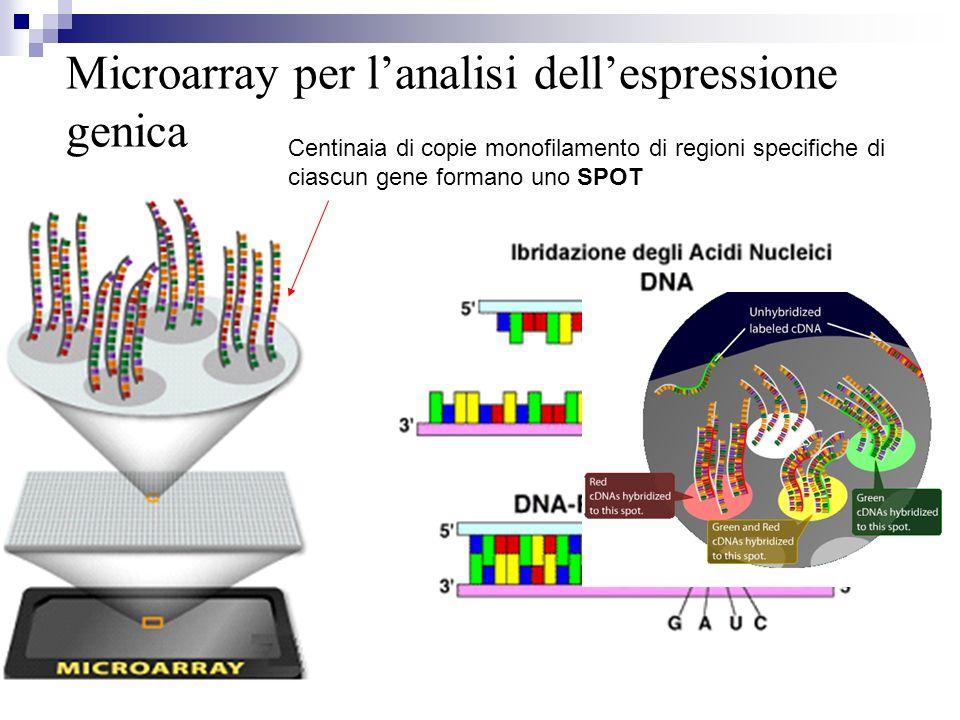 Microarray per lanalisi dellespressione genica Centinaia di copie monofilamento di regioni specifiche di ciascun gene formano uno SPOT