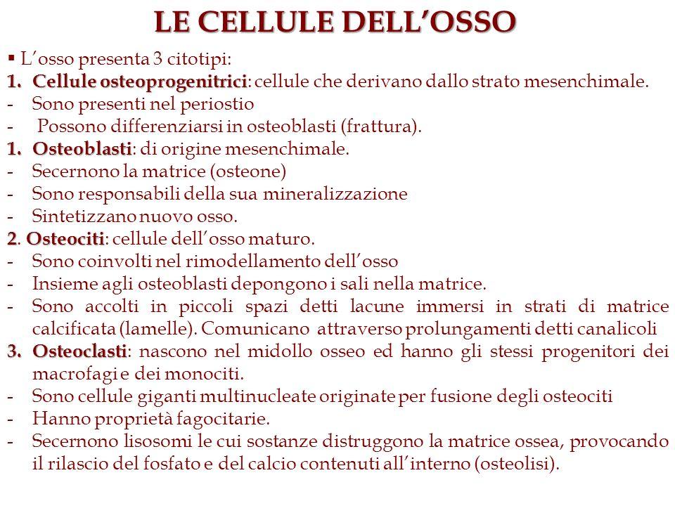 LE CELLULE DELLOSSO Losso presenta 3 citotipi: 1. Cellule osteoprogenitrici 1. Cellule osteoprogenitrici : cellule che derivano dallo strato mesenchim