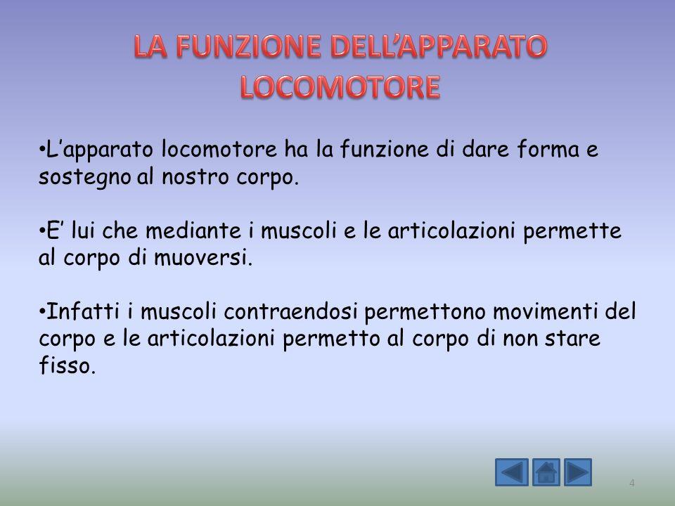 Lapparato locomotore ha la funzione di dare forma e sostegno al nostro corpo. E lui che mediante i muscoli e le articolazioni permette al corpo di muo