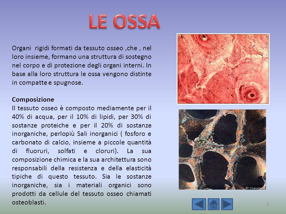 Organi rigidi formati da tessuto osseo,che, nel loro insieme, formano una struttura di sostegno nel corpo e di protezione degli organi interni. In bas