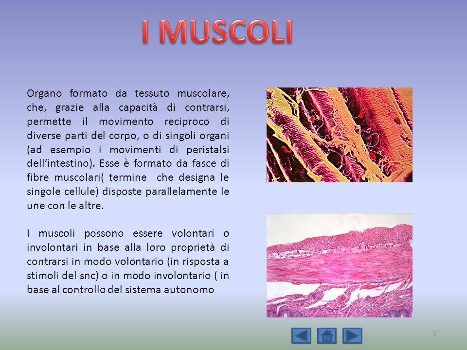 Organo formato da tessuto muscolare, che, grazie alla capacità di contrarsi, permette il movimento reciproco di diverse parti del corpo, o di singoli