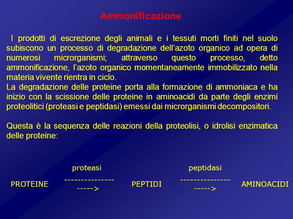 Ammonificazione I prodotti di escrezione degli animali e i tessuti morti finiti nel suolo subiscono un processo di degradazione dellazoto organico ad