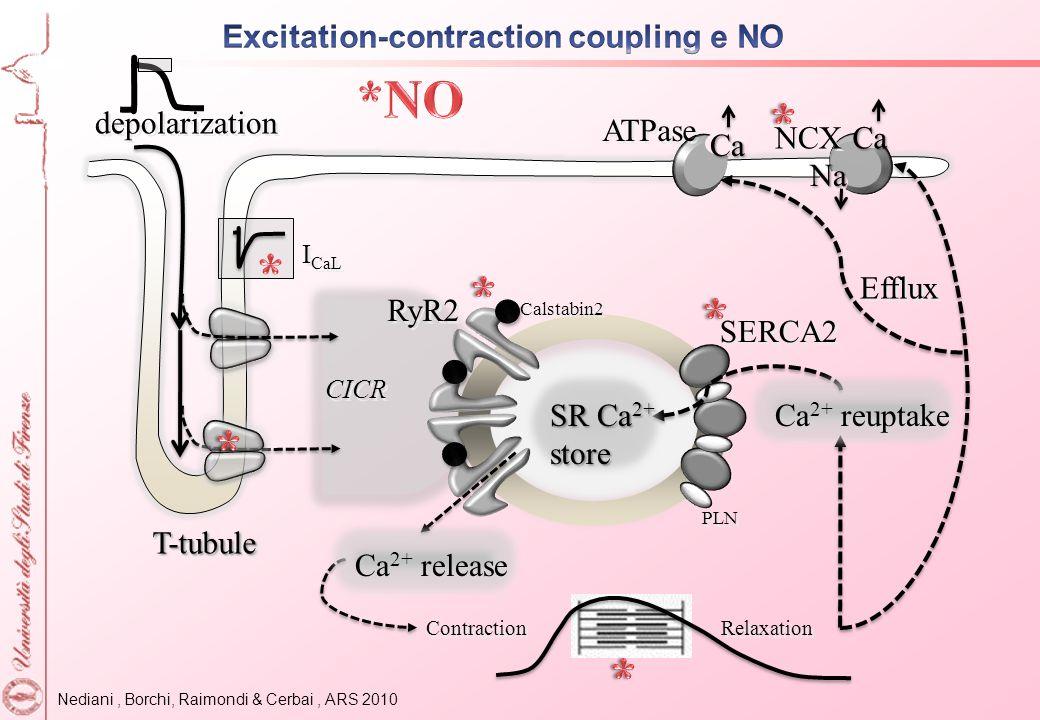 Nediani, Borchi, Raimondi & Cerbai, ARS 2010 depolarization CICR Calstabin2 RyR2 Efflux SERCA2 PLN NCX T-tubuleT-tubule Contraction Relaxation I CaL S