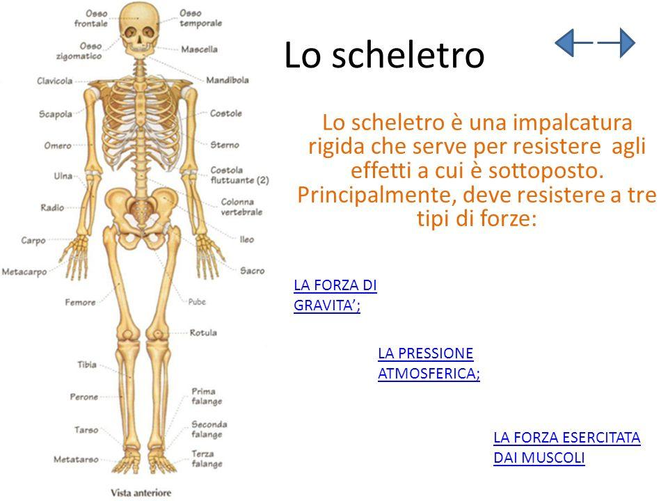Lo scheletro Lo scheletro è una impalcatura rigida che serve per resistere agli effetti a cui è sottoposto. Principalmente, deve resistere a tre tipi