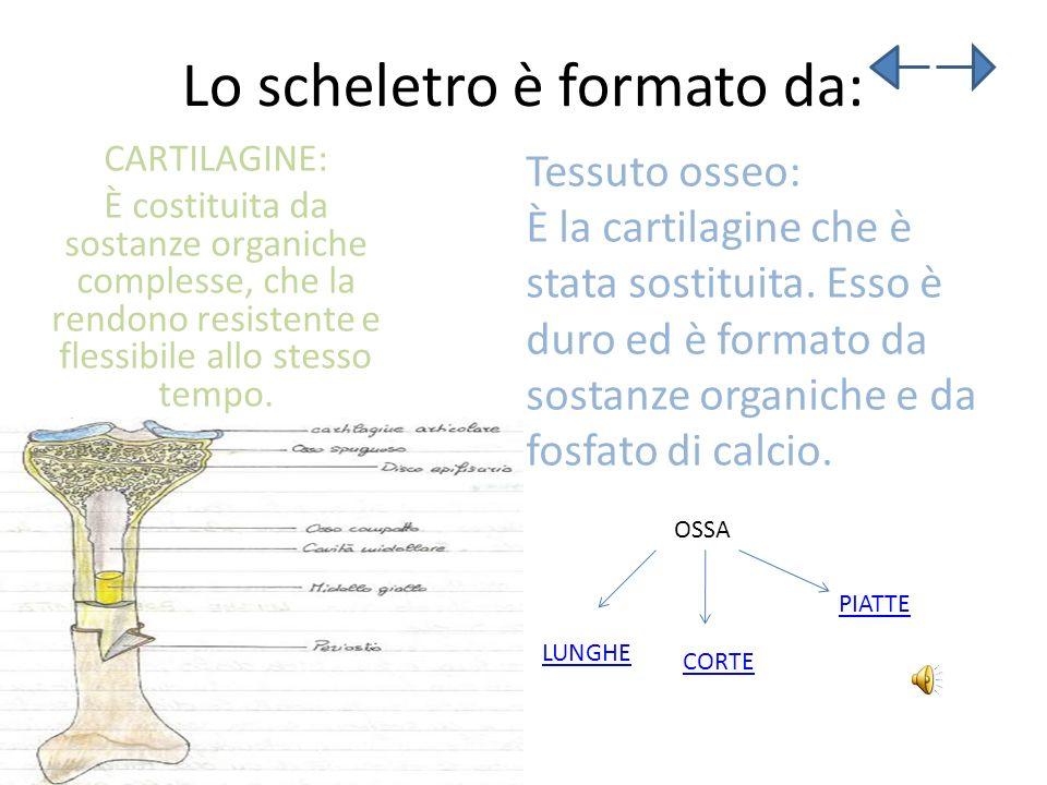 Lo scheletro è formato da: CARTILAGINE: È costituita da sostanze organiche complesse, che la rendono resistente e flessibile allo stesso tempo. Tessut