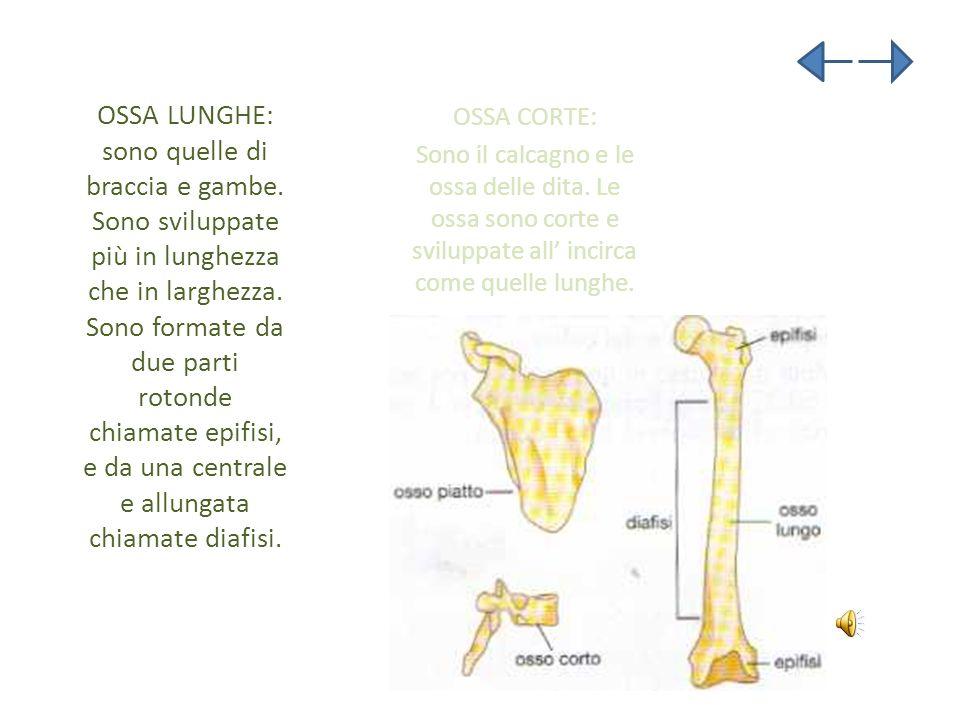 OSSA LUNGHE: sono quelle di braccia e gambe. Sono sviluppate più in lunghezza che in larghezza. Sono formate da due parti rotonde chiamate epifisi, e