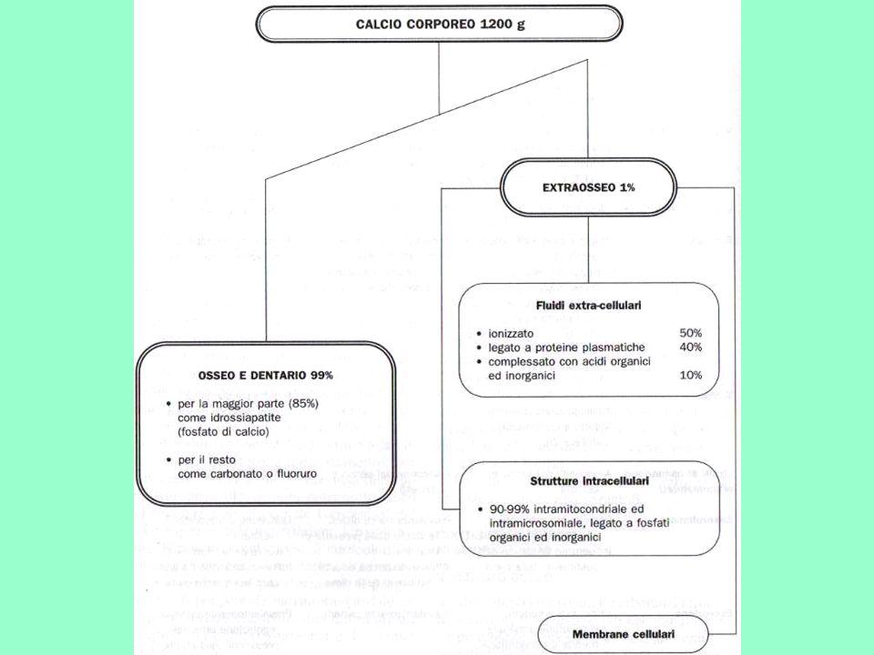 In sintesi, azione del PTH su: Osso: aumento dellattività degli osteoclasti iperfosfatemia e ipercalcemia Rene: –1) aumento del riassorbimento di Ca filtrato e aumento del riassorbimento dei fosfati ipocalciuria e iperfosfaturia –2) aumento della sintesi di Vit D3 Intestino: aumento dellazione della Vit D3 sullassorbimento di Ca ipercalcemia