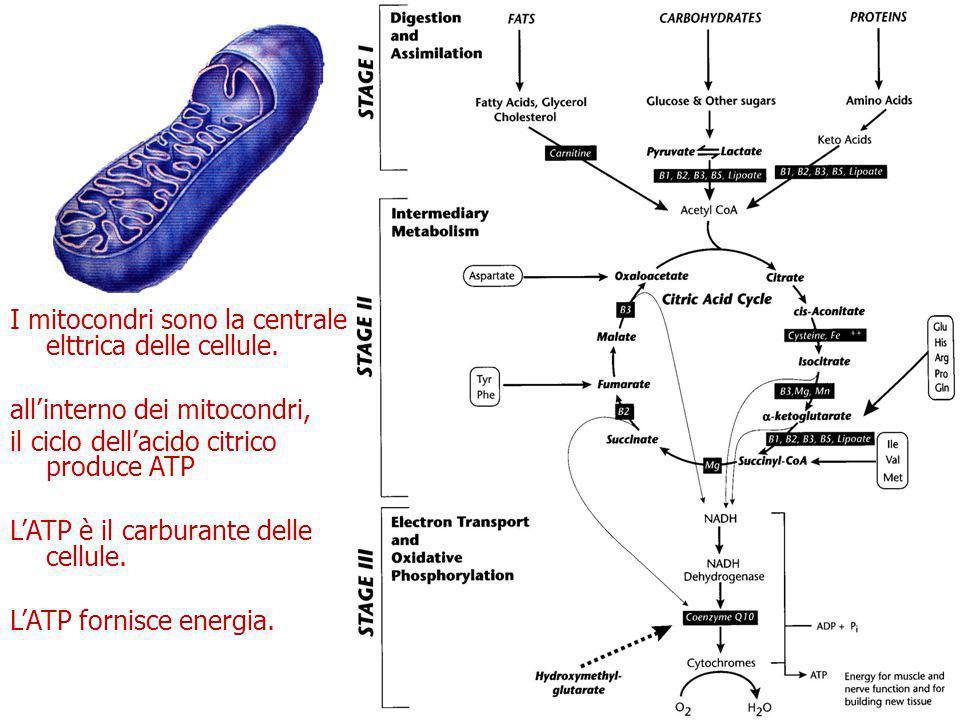 ATP (adenosina trifosfato) L ATP è il carburante energetico di ogni cellula, inclusi i neuroni.