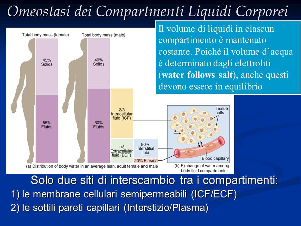 Compartimenti dei Liquidi Corporei ICF:55%~75% Intravascolare plasma plasma X 50~70% Peso corporeo Extravascolare Fluido Fluidointerstiziale TBW ECF 3/4 1/4 M (60%) > F (50%) M (60%) > F (50%) Maggiormente concentrato nei mm.