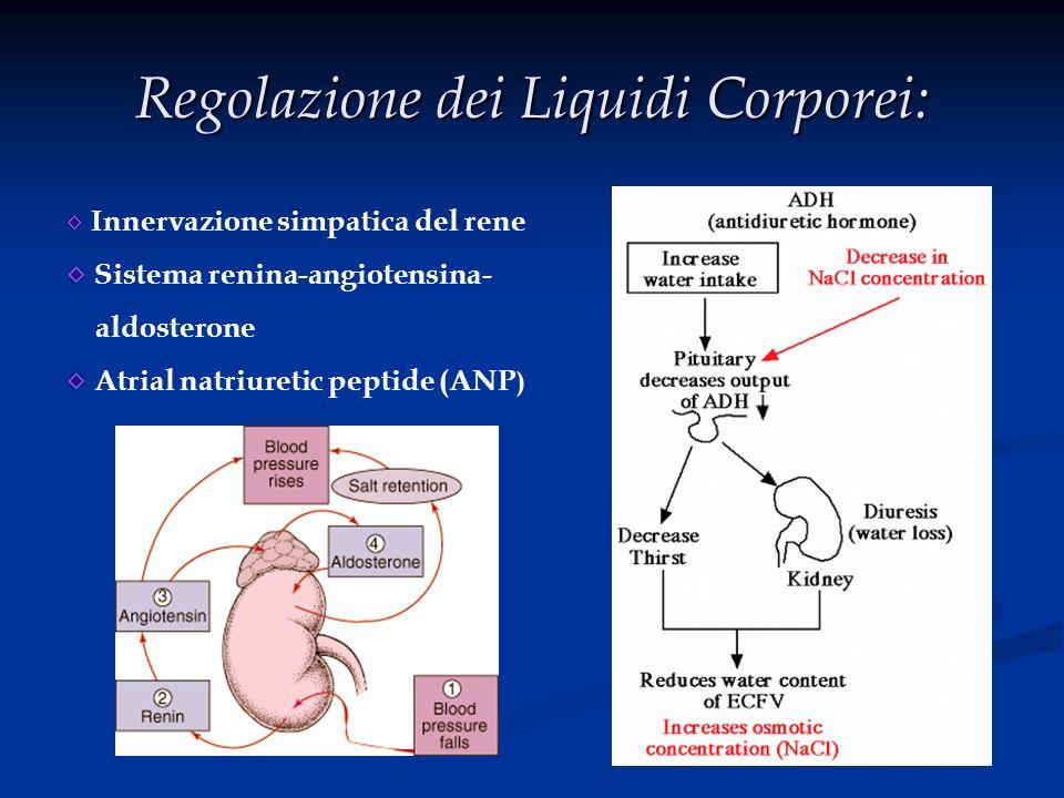 Regolazione dei Liquidi Corporei: Innervazione simpatica del rene Sistema renina-angiotensina- aldosterone Atrial natriuretic peptide (ANP )