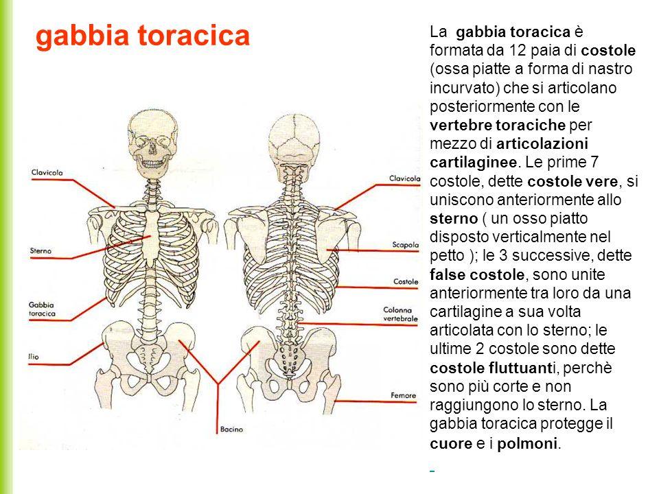 gabbia toracica La gabbia toracica è formata da 12 paia di costole (ossa piatte a forma di nastro incurvato) che si articolano posteriormente con le v