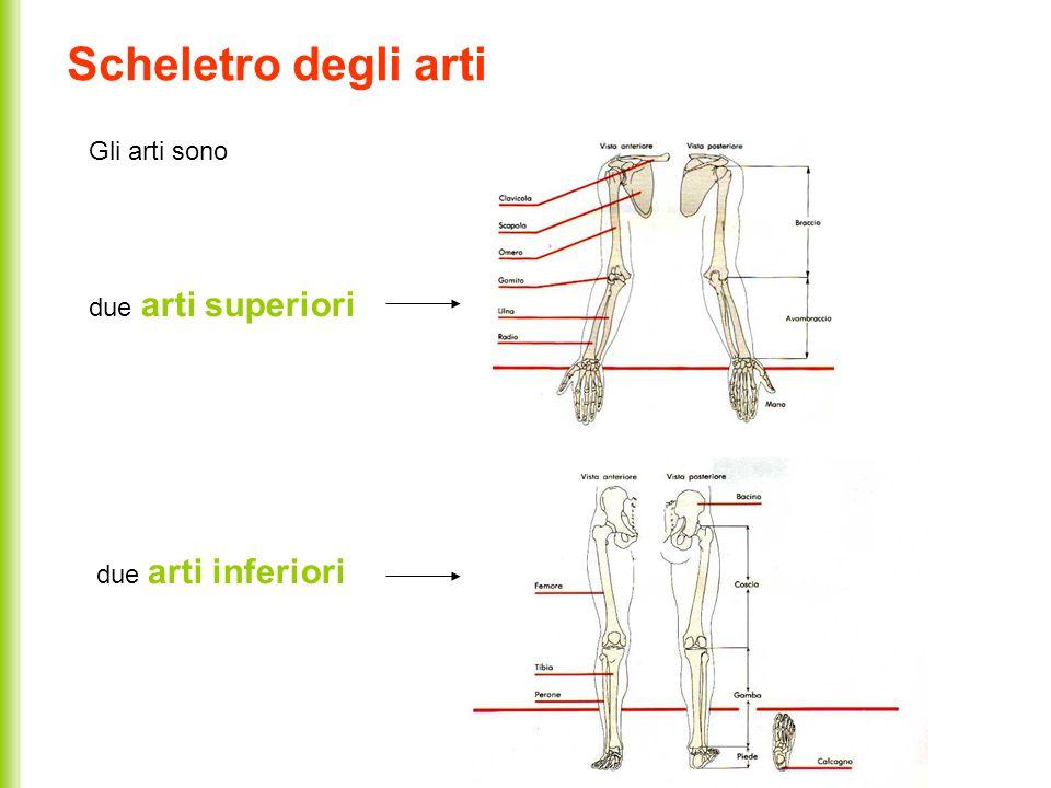 Scheletro degli arti Gli arti sono due arti superiori due arti inferiori