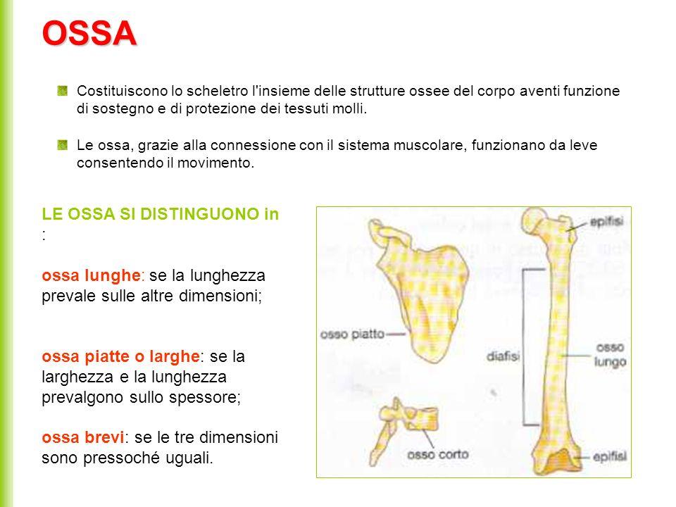 OSSA Costituiscono lo scheletro l'insieme delle strutture ossee del corpo aventi funzione di sostegno e di protezione dei tessuti molli. Le ossa, graz