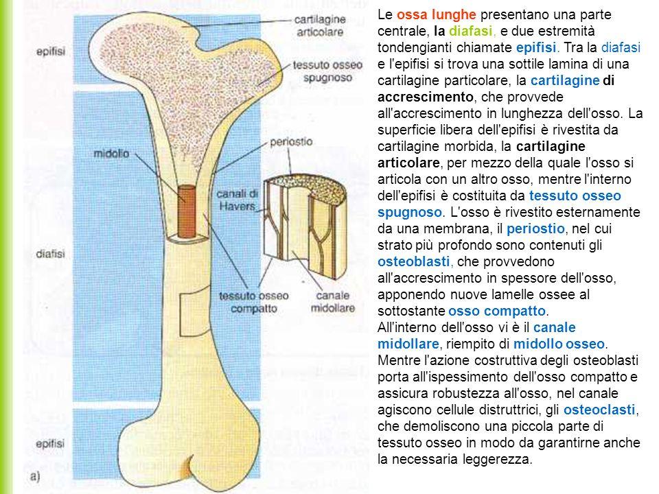 Le ossa lunghe presentano una parte centrale, la diafasi, e due estremità tondengianti chiamate epifisi. Tra la diafasi e l'epifisi si trova una sotti