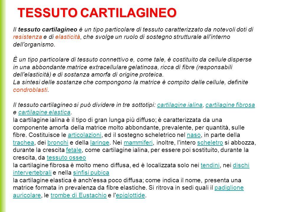 TESSUTO CARTILAGINEO Il tessuto cartilagineo è un tipo particolare di tessuto caratterizzato da notevoli doti di resistenza e di elasticità, che svolg