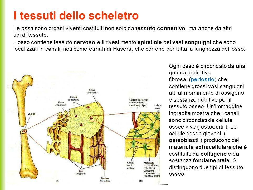 I tessuti dello scheletro Le ossa sono organi viventi costituiti non solo da tessuto connettivo, ma anche da altri tipi di tessuto. L'osso contiene te