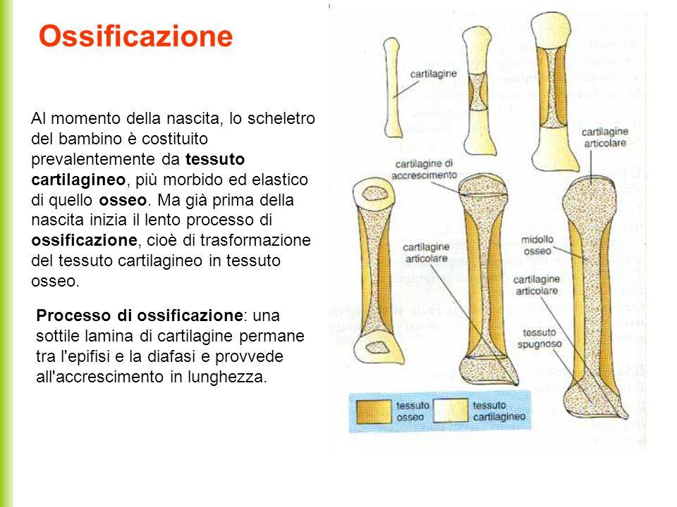 Ossificazione Al momento della nascita, lo scheletro del bambino è costituito prevalentemente da tessuto cartilagineo, più morbido ed elastico di quel
