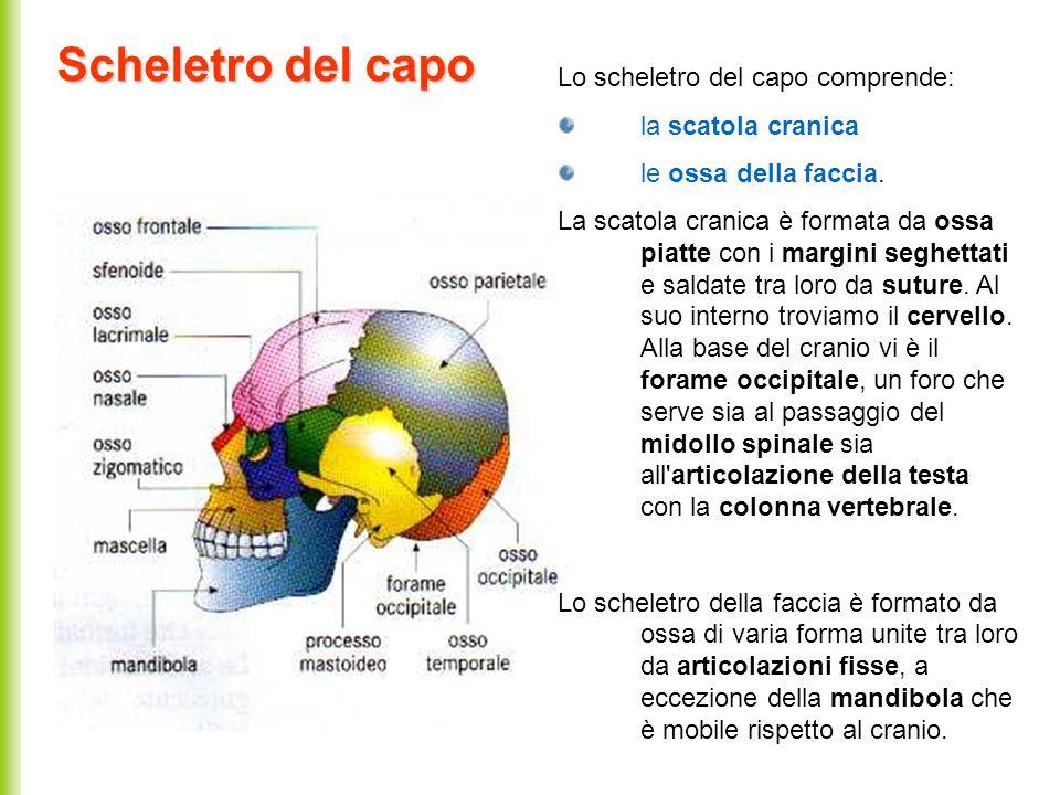 Scheletro del capo Lo scheletro del capo comprende: la scatola cranica le ossa della faccia. La scatola cranica è formata da ossa piatte con i margini