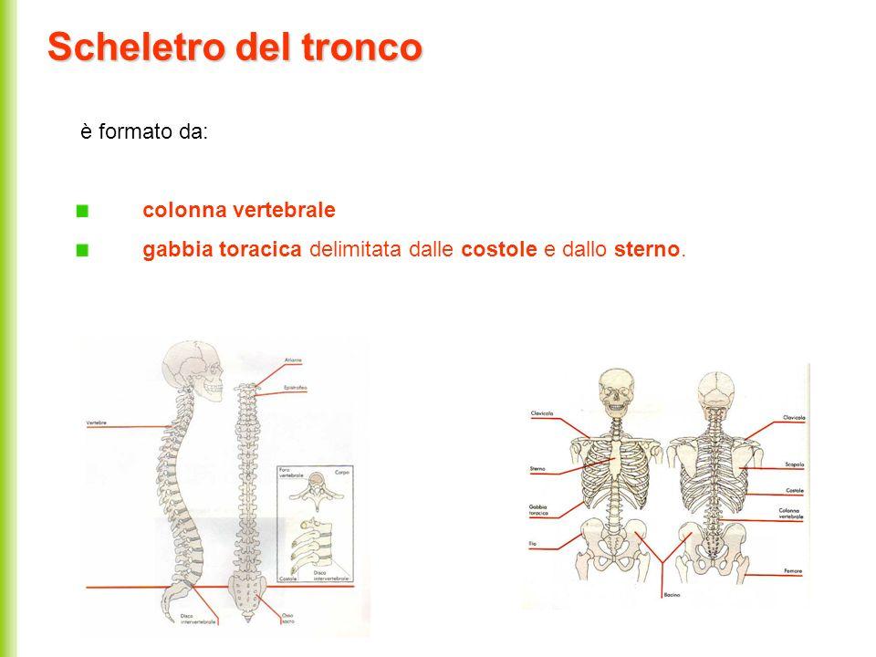 Scheletro del tronco è formato da: colonna vertebrale gabbia toracica delimitata dalle costole e dallo sterno.