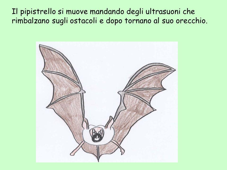 Il pipistrello si muove mandando degli ultrasuoni che rimbalzano sugli ostacoli e dopo tornano al suo orecchio.