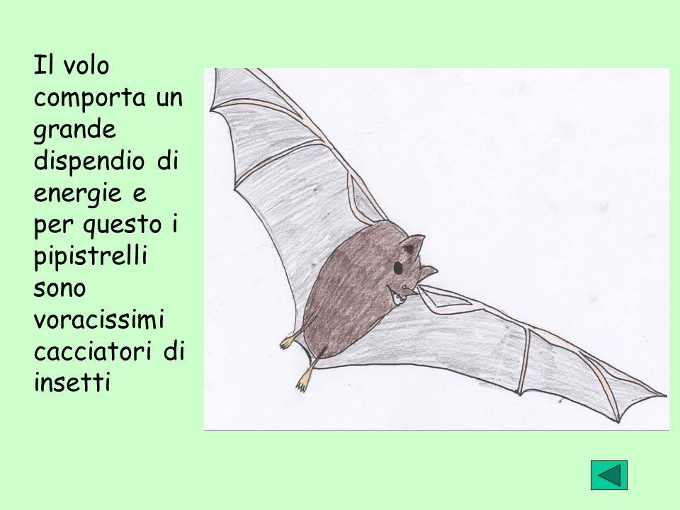 Il volo comporta un grande dispendio di energie e per questo i pipistrelli sono voracissimi cacciatori di insetti