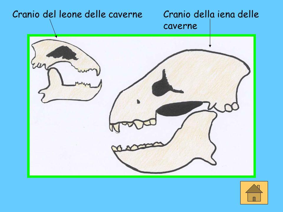 Cranio del leone delle caverneCranio della iena delle caverne