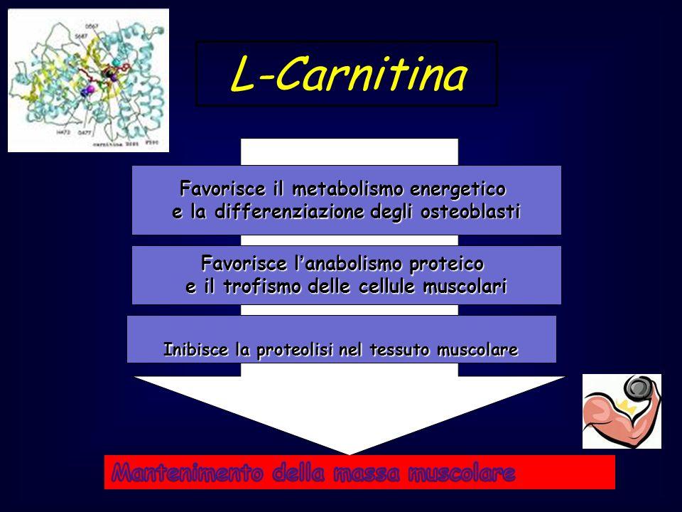 L-Carnitina Favorisce il metabolismo energetico e la differenziazione degli osteoblasti Favorisce lanabolismo proteico e il trofismo delle cellule mus