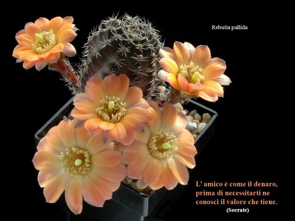 Mammillaria albiflora - Come sai che un politico dice bugie? - Gli si muovono le labbra.