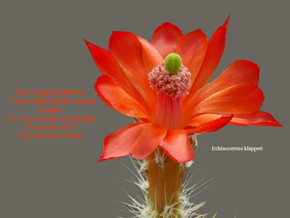 Discocactus pugionacanthus BATTUTE -Cambio il coinquilino che russa per una coinquilina che sospira. -Adulterio = due persone sbagliate che fanno la c