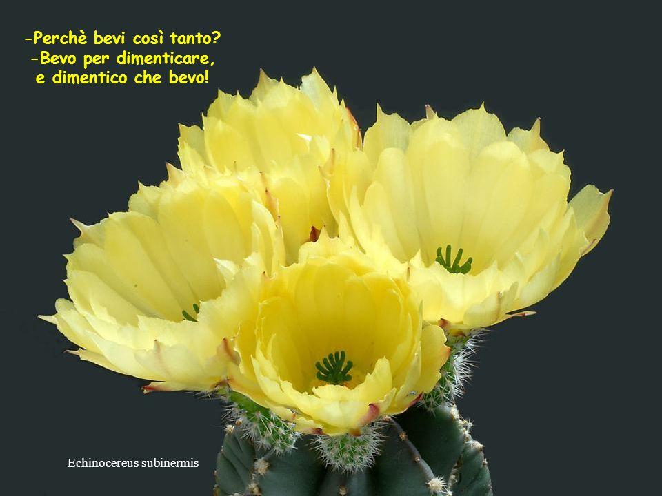 Echinocereus reichenbachii Chi non ha cercato amici nella gioia, non li trova nella tristezza.