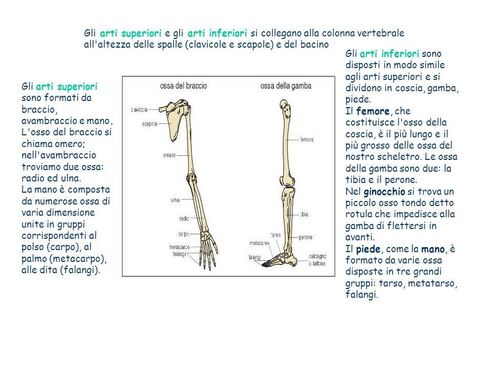 Gli arti superiori e gli arti inferiori si collegano alla colonna vertebrale all altezza delle spalle (clavicole e scapole) e del bacino Gli arti inferiori sono disposti in modo simile agli arti superiori e si dividono in coscia, gamba, piede.