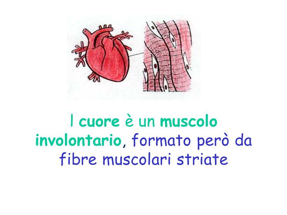 l cuore è un muscolo involontario, formato però da fibre muscolari striate