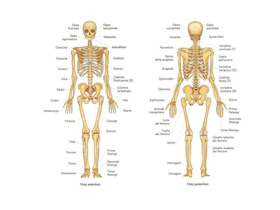 Lo scheletro ci fa stare in piedi, ci sostiene, ci dà la forma. E l intelaiatura del nostro corpo.