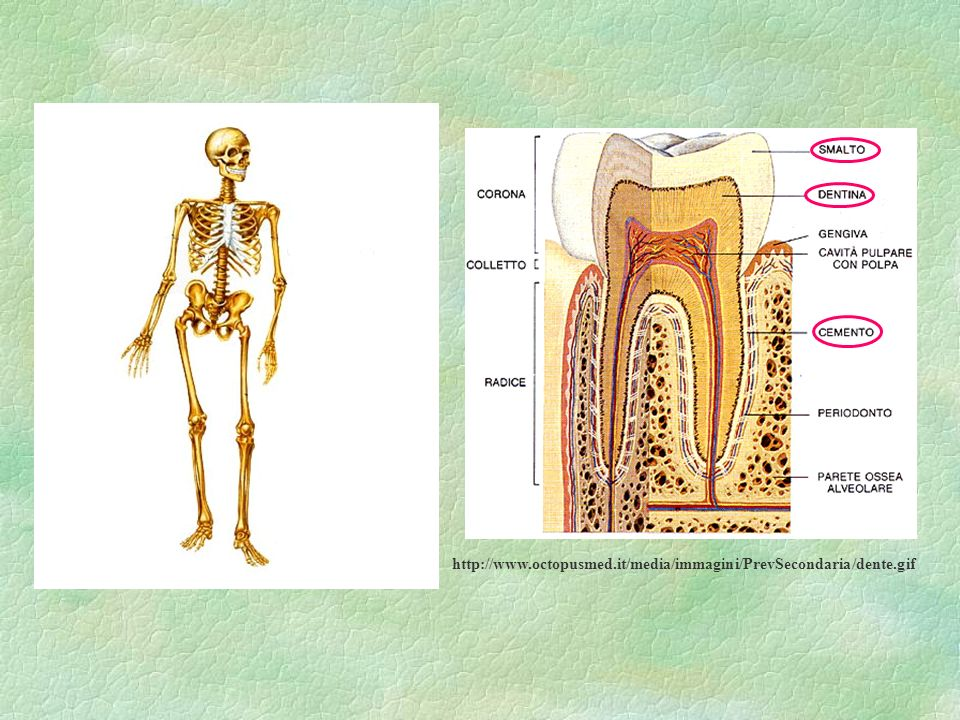 http://www.octopusmed.it/media/immagini/PrevSecondaria/dente.gif