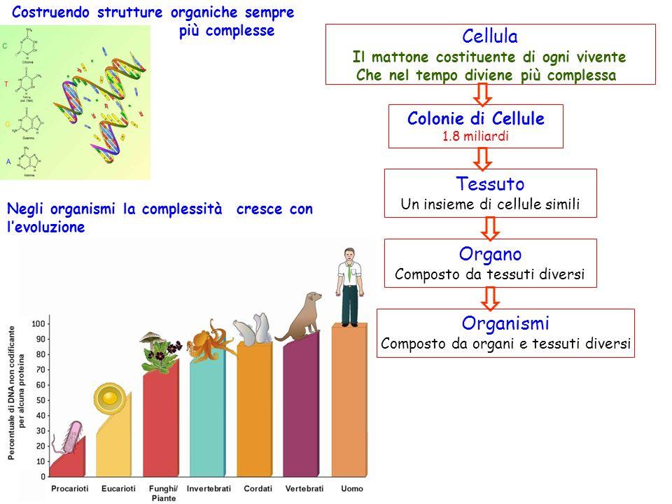 Cellula Il mattone costituente di ogni vivente Che nel tempo diviene più complessa Colonie di Cellule 1.8 miliardi Tessuto Un insieme di cellule simili Organo Composto da tessuti diversi Organismi Composto da organi e tessuti diversi Costruendo strutture organiche sempre più complesse Negli organismi la complessità cresce con levoluzione