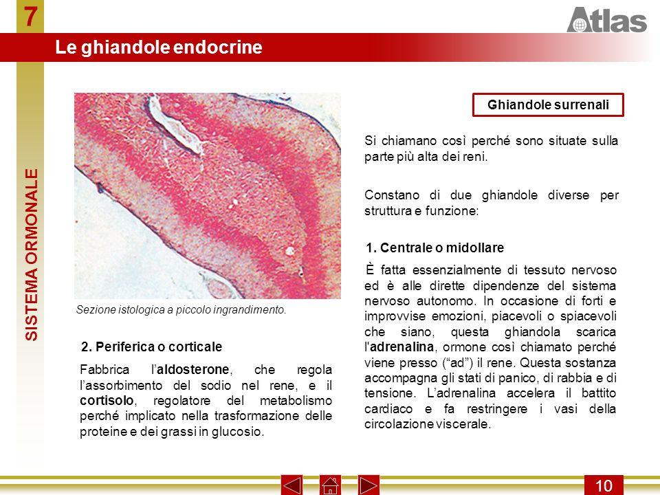 7 10 Si chiamano così perché sono situate sulla parte più alta dei reni. Ghiandole surrenali Constano di due ghiandole diverse per struttura e funzion
