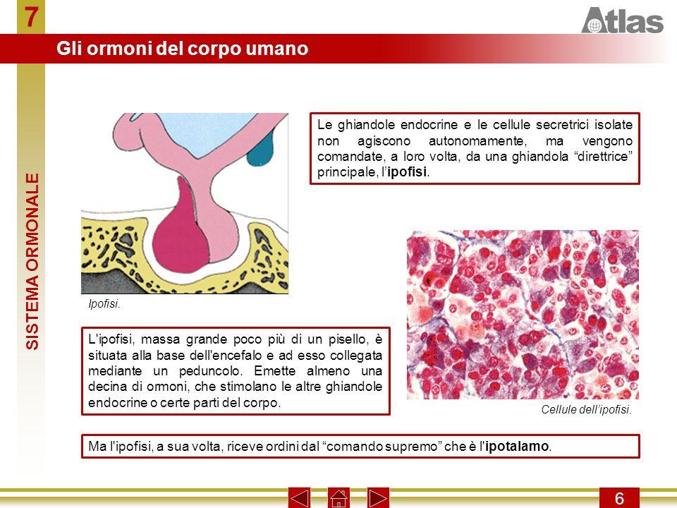 7 6 Le ghiandole endocrine e le cellule secretrici isolate non agiscono autonomamente, ma vengono comandate, a loro volta, da una ghiandola direttrice