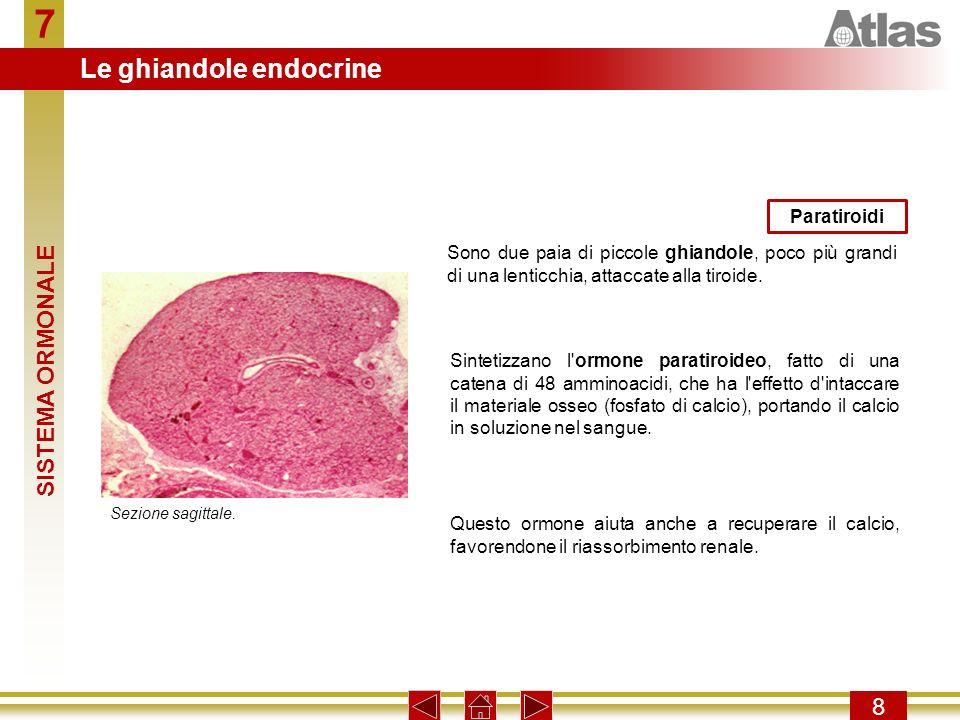 7 8 Sono due paia di piccole ghiandole, poco più grandi di una lenticchia, attaccate alla tiroide. Paratiroidi Sezione sagittale. Sintetizzano l'ormon