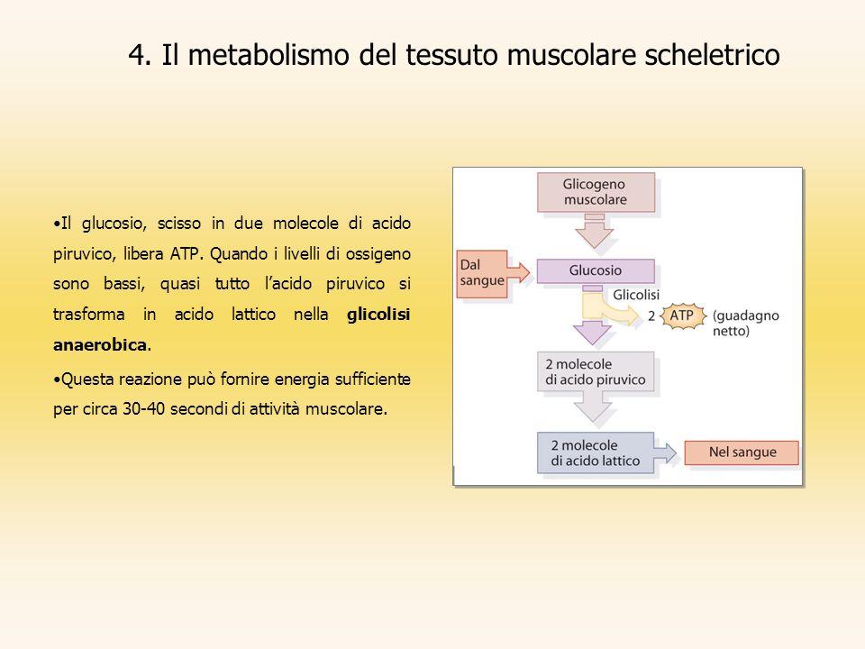 Il glucosio, scisso in due molecole di acido piruvico, libera ATP. Quando i livelli di ossigeno sono bassi, quasi tutto lacido piruvico si trasforma i