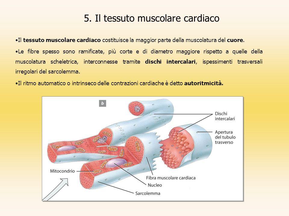 5. Il tessuto muscolare cardiaco Il tessuto muscolare cardiaco costituisce la maggior parte della muscolatura del cuore. Le fibre spesso sono ramifica