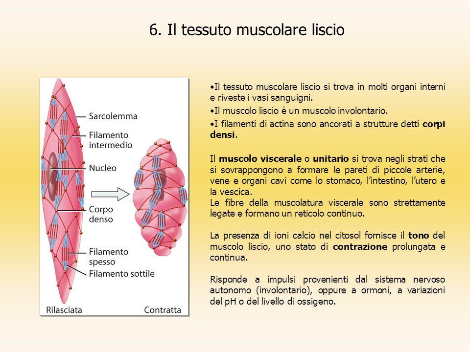 6. Il tessuto muscolare liscio Il tessuto muscolare liscio si trova in molti organi interni e riveste i vasi sanguigni. Il muscolo liscio è un muscolo