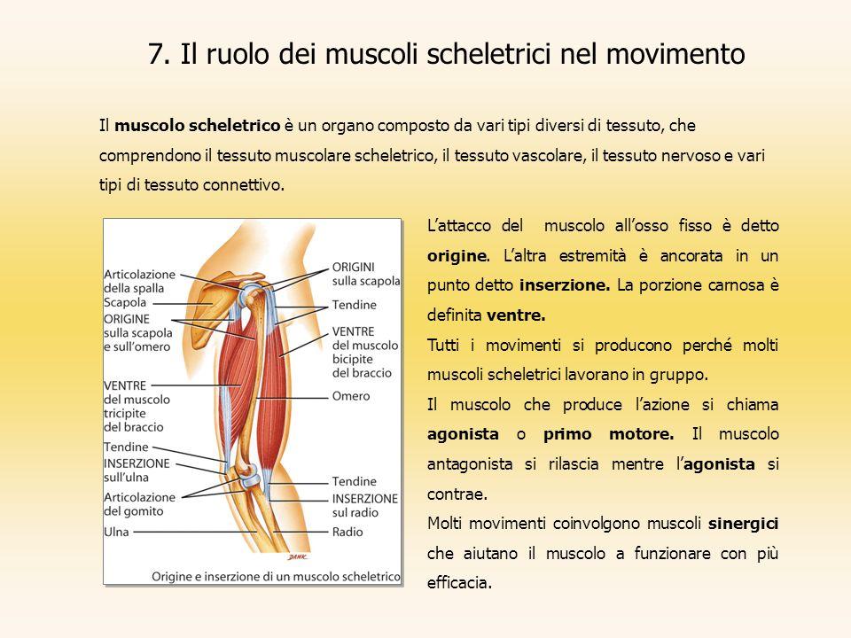 7. Il ruolo dei muscoli scheletrici nel movimento Il muscolo scheletrico è un organo composto da vari tipi diversi di tessuto, che comprendono il tess