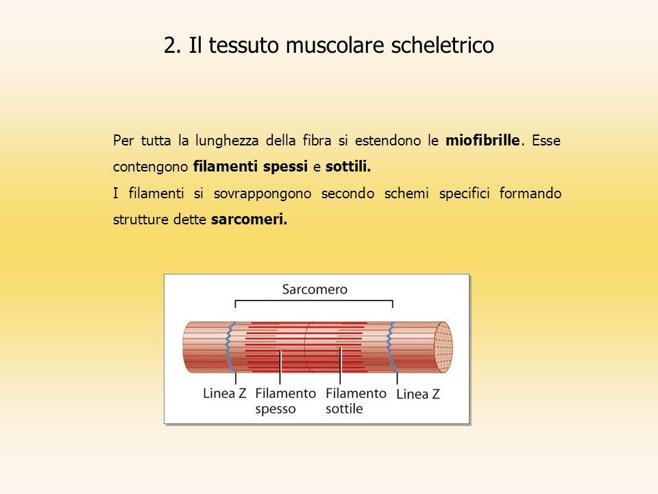 2. Il tessuto muscolare scheletrico Per tutta la lunghezza della fibra si estendono le miofibrille. Esse contengono filamenti spessi e sottili. I fila